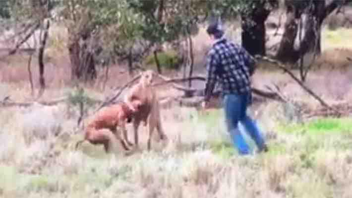 Todo por defender a su perro: hombre pelea con canguro que tenía a su mascota atrapada por el cuello