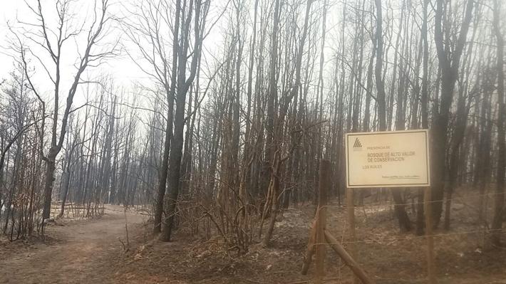 Incendios arrasan con el 50% de los bosques de árbol nativo chileno en peligro de extinción