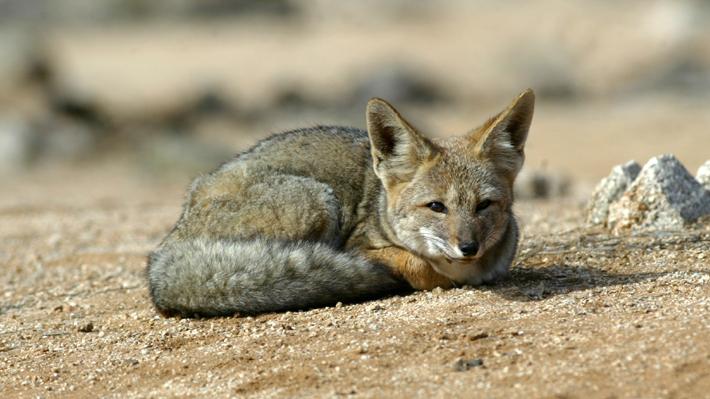 Estos animales se comenzarán a ver en las zonas urbanas a causa de los incendios forestales