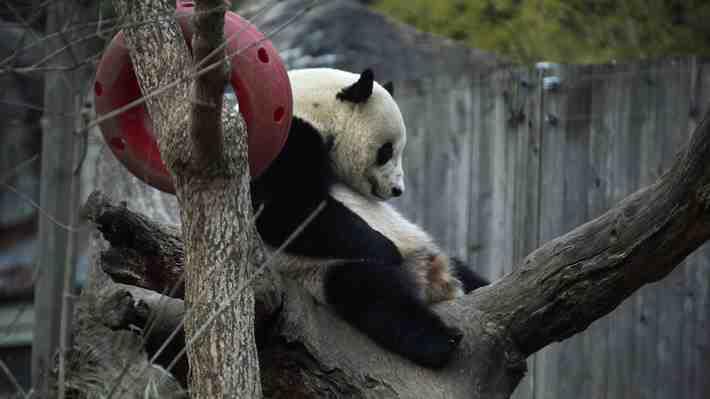 Bao Bao, la última protagonista de la 'diplomacia del panda' regresa a las tierras de sus ancestros