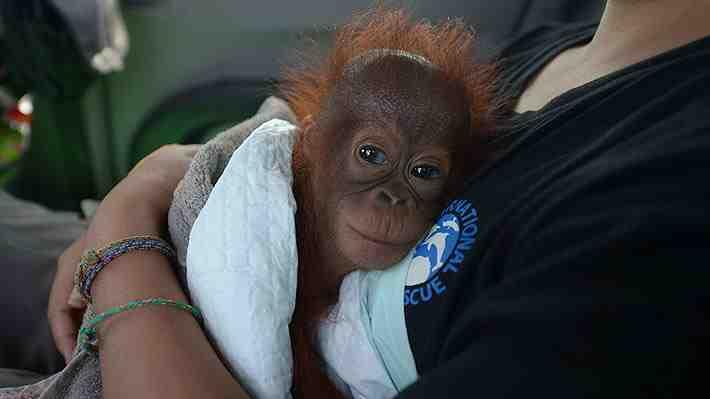 Vena, la orangutana de siete meses que fue salvada de ser una mascota en Indonesia