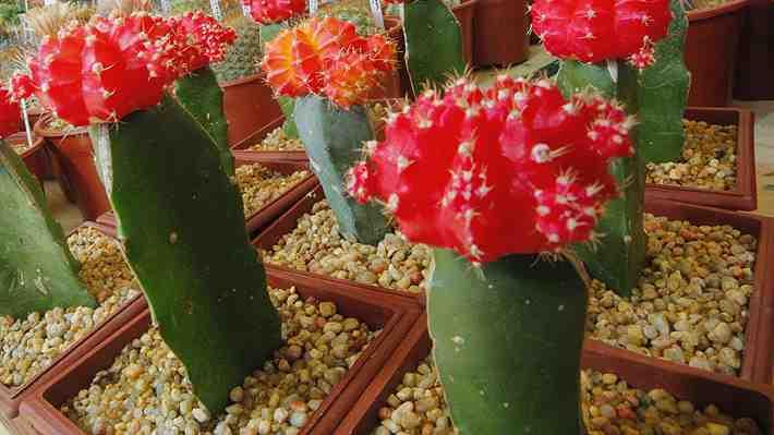 Conoce por qué coleccionar cactus se ha transformado en un arma de doble filo para esas plantas