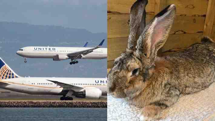 Misteriosa muerte de conejo gigante pone nuevamente en la mira a United Airlines