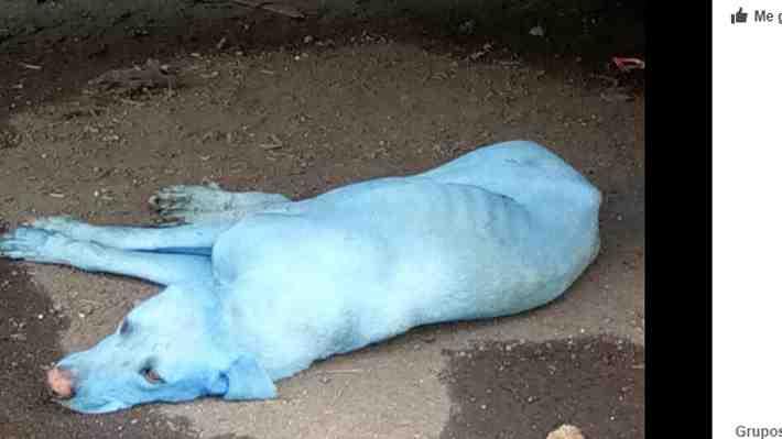 La desagradable causa de por qué en las calles de Bombay merodean perros azules