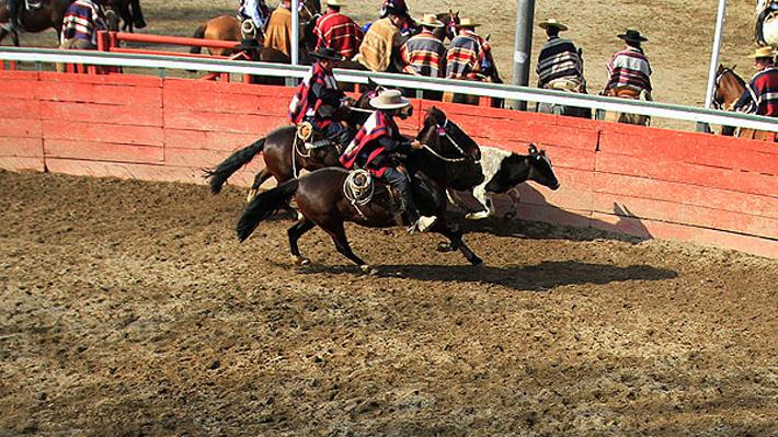 Federación de Rodeo asegura que menos del 1% de los novillos y caballos sufrieron lesiones