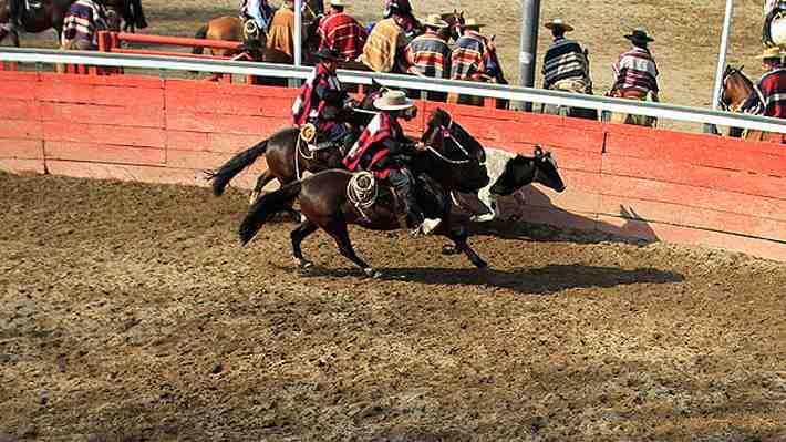 Aseguran que menos del 1% de los novillos y caballos sufren lesiones en el rodeo. ¿Qué opinas de esta polémica?