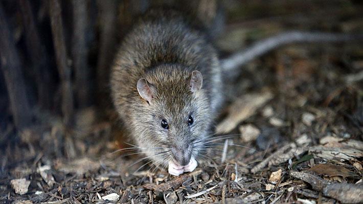 La menor no pudo defenderse: ataque de ratas dejó gravemente herida a una niña parapléjica en Francia