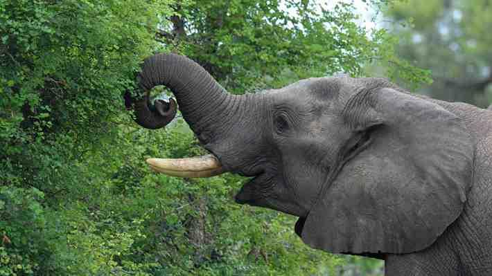 Nueve elefantes murieron electrocutados en Botsuana