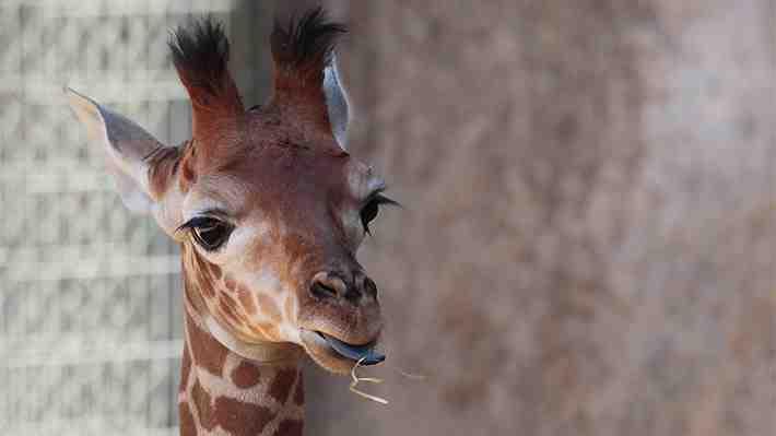 Muere en Francia la jirafa macho reproductora más vieja de Europa