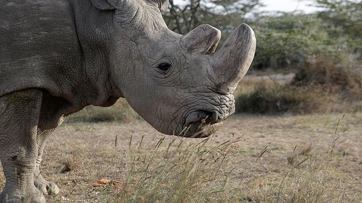 Infección amenaza la vida de Sudán, el último ejemplar macho de rinoceronte blanco del norte