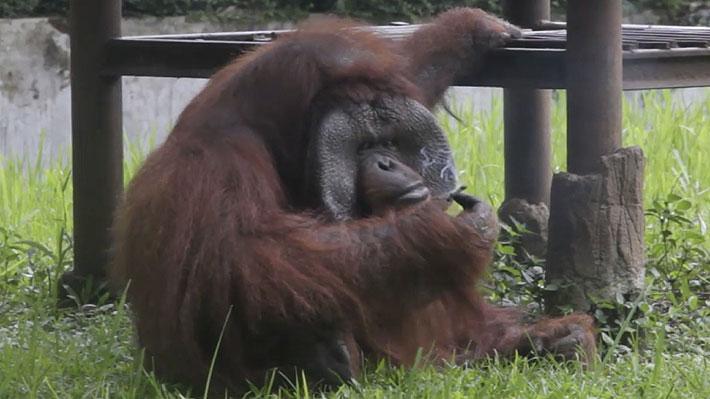 Polémica en Indonesia por orangután que fue descubierto fumando en un zoológico