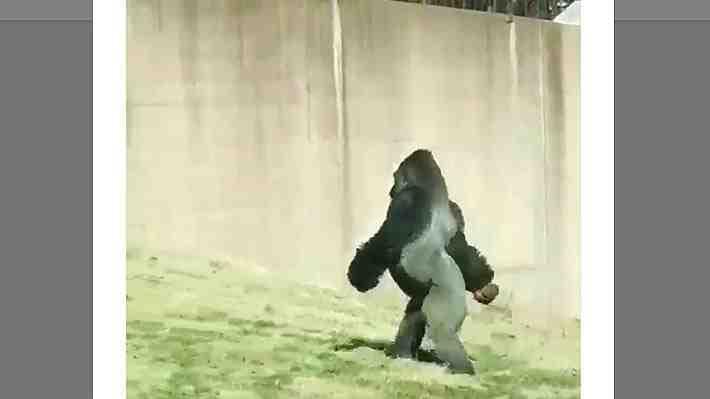 Conoce a Louis, el gorila del zoo de Filadelfia que prefiere caminar completamente erguido