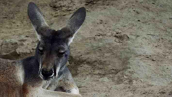 Trágica muerte de una canguro en zoológico de China: Los visitantes le lanzaron piedras para que saltara