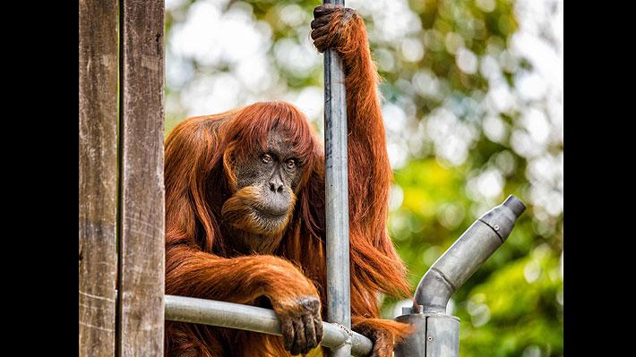 Puan, el orangután más longevo del mundo, murió a los 62 años en zoológico australiano