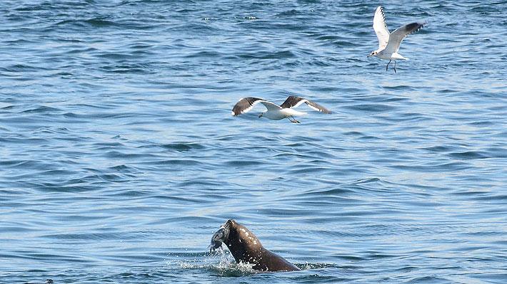 Lobos marinos que serían trasladados de Valdivia no han podido ser capturados