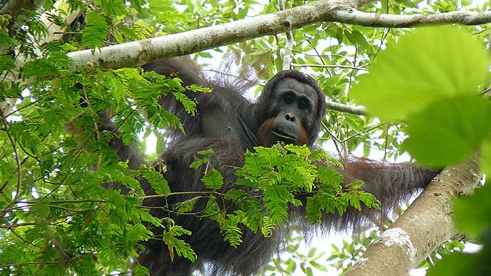 Macabra muerte de un orangután en Indonesia: fue descuartizado, cocinado y comido