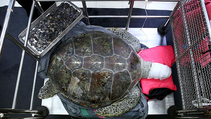 ¡Increíble! Tortuga marina tailandesa tenía casi 1.000 monedas en su estómago