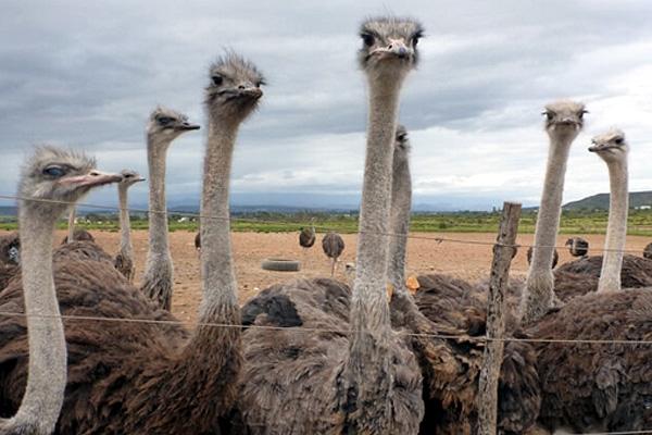 027cf5ce8 Según informes del grupo animalista, las aves utilizadas tienen solo un año  y son degolladas o mueren por descargas eléctricas.