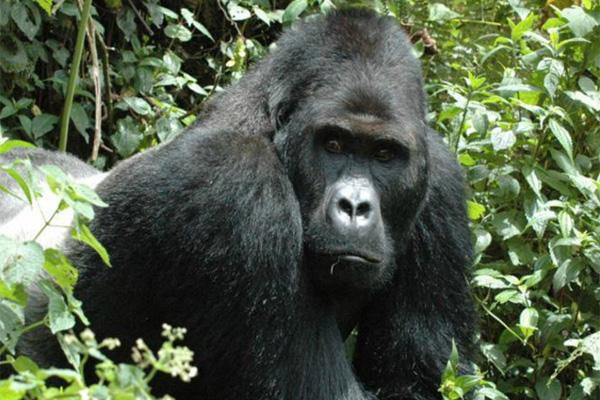 3eb84fa26330 El gorila más grande del mundo está a un paso de la extinción