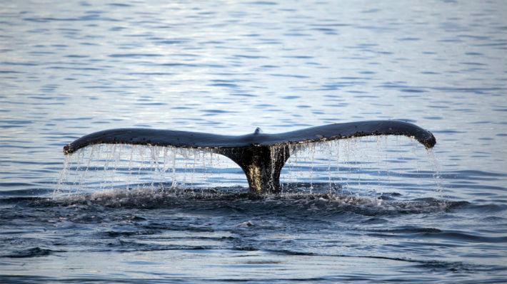 Expertos aseguran que la población de algunas ballenas no estará recuperada en 2100