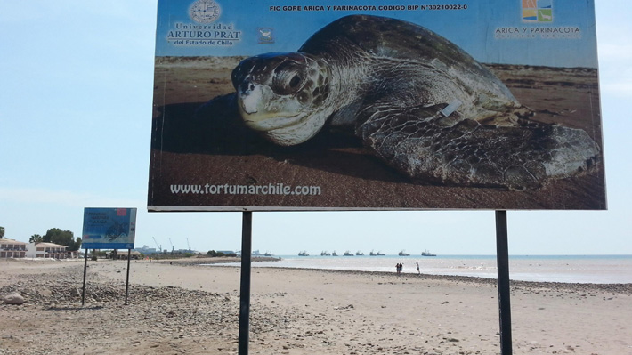 Encuentran nueve tortugas marinas decapitadas en zona protegida de Arica