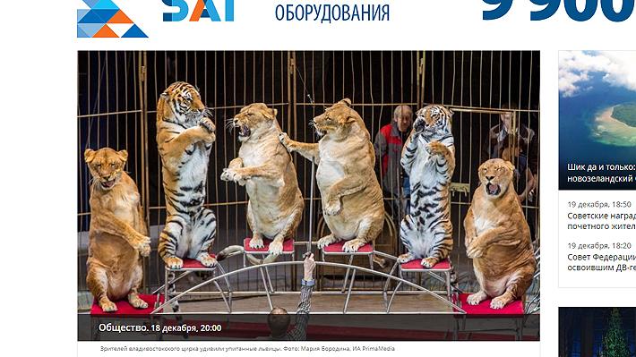 Polémica en Rusia por uso de leonas con evidente sobrepeso en espectáculo circense