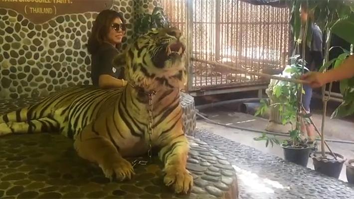 Indignación en Tailandia por video que evidencia el maltrato a tigres para que turistas se tomen fotos