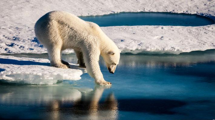 El cambio climático está dejando a los osos polares sin el alimento suficiente en su dieta