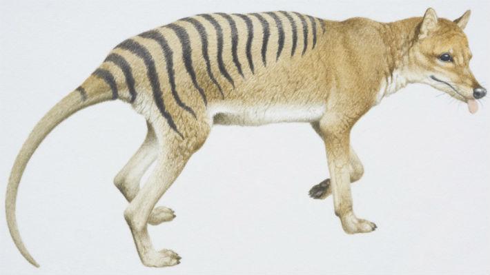 """El tigre de Tasmania nacía como un marsupial para transformarse en un """"perro"""" al salir de la bolsa de su madre"""