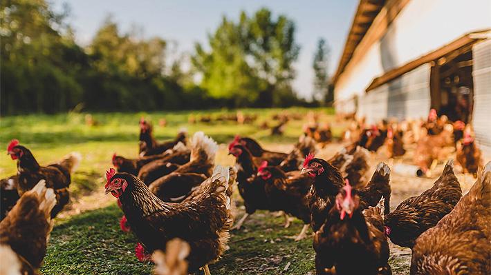 "Huevos de ""gallinas felices"": Productores chilenos abordan ""polémica"" decisión de Francia"