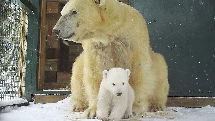 ¡Máxima ternura! Oso polar nacido en cautiverio en zoo británico salió por primera vez de su guarida
