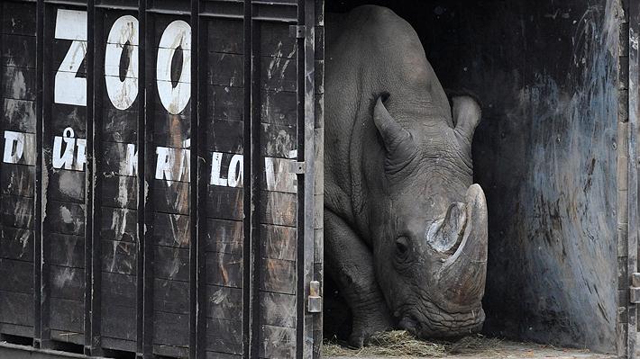 Peligro de extinción: Muere en Kenia el último macho de rinoceronte blanco del norte