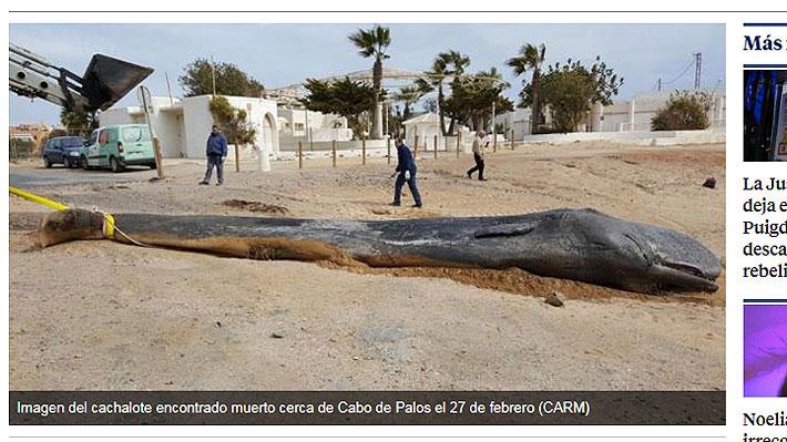 Hallan 29 kilos de plástico en estómago de un cachalote que en febrero murió en la costa española