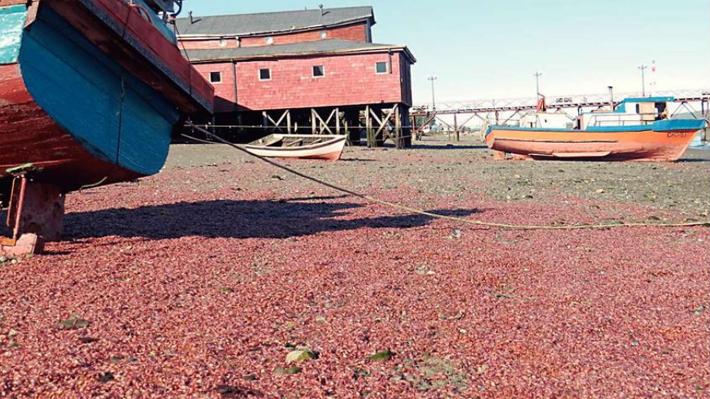Investigan varazón de miles de langostinos en una playa de Chiloé