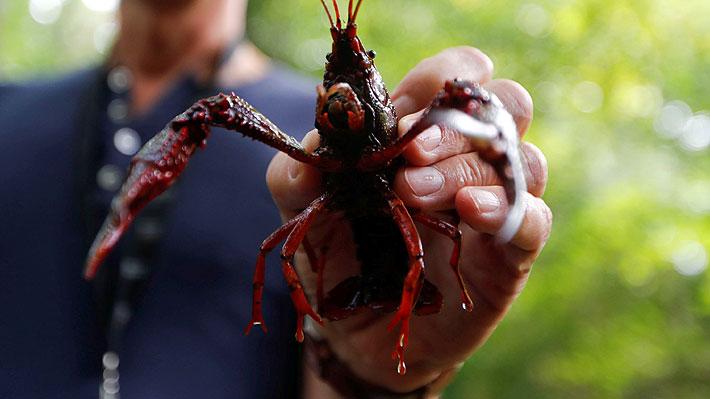 Video muestra cómo un cangrejo de río logra escapar de ser cocinado vivo en un restaurante en China