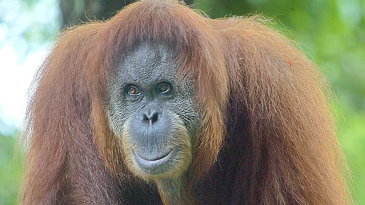 Dramático video: Un orangután pelea con una excavadora para defender su hábitat natural en Indonesia