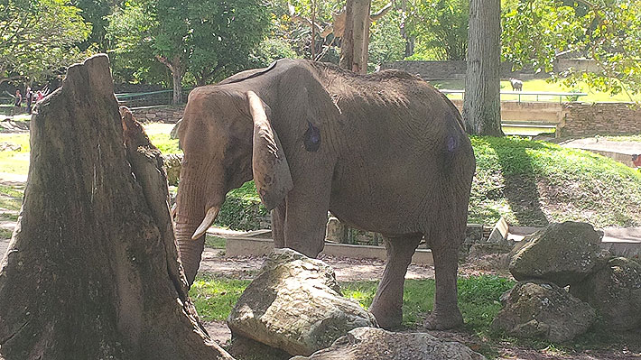 Estaba desnutrida: Elefanta Ruperta, símbolo del zoológico de Caracas, falleció a los 48 años