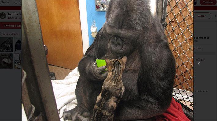 Koko, la gorila que dominaba el lenguaje de señas, murió a los 46 años