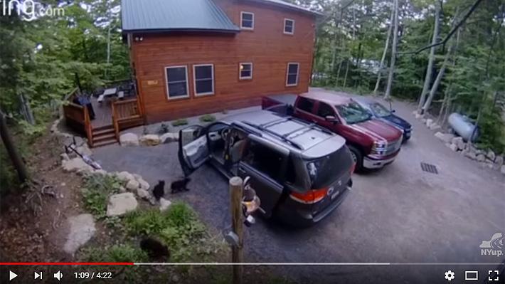 ¿Quería dar un paseo?: Video registra cómo una osa abre las puertas de una van y entra al vehículo con sus cachorros