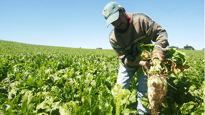 El amargo negocio del azúcar en Chile: Productores enfrentan incierto panorama ante eventual cierre de Iansa en Linares