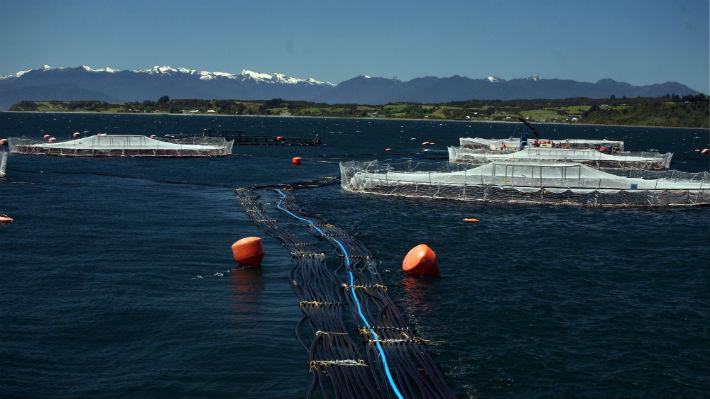 Tribunal Ambiental autoriza detención de funcionamiento de centro de Marine Harvest tras fuga masiva de salmones