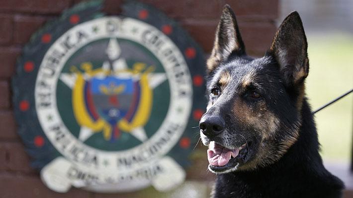 Ofrecen US$ 70 mil por ella: Sombra, la perra policía que está en la mira de un poderoso grupo narco colombiano