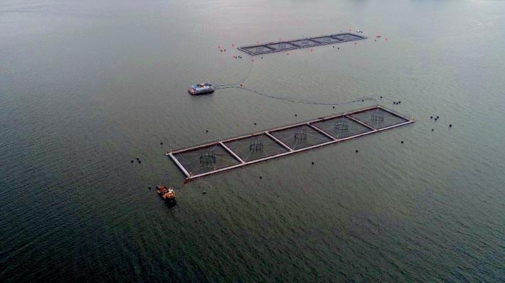 Fuga de salmones en Calbuco: La incertidumbre en autoridades locales y ambientalista por el verdadero impacto
