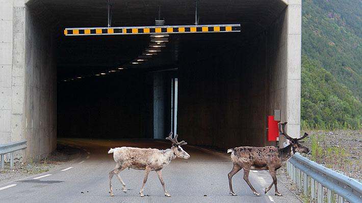 Ovejas y renos se refugian en túneles para protegerse de ola de calor en Noruega