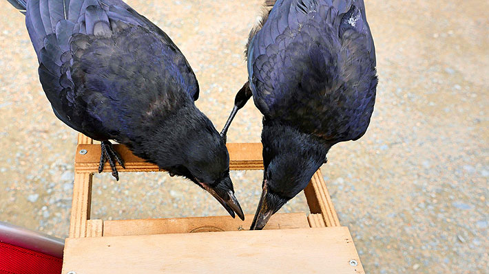 Cuervos recogen colillas de cigarrillos y colaboran con la limpieza de un parque temático francés