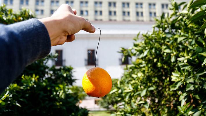 Cuelgan frutas con alambres en el Patio de Los Naranjos de La Moneda