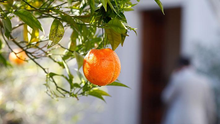 Las razones de las frutas colgadas con alambres en el Patio de Los Naranjos de La Moneda