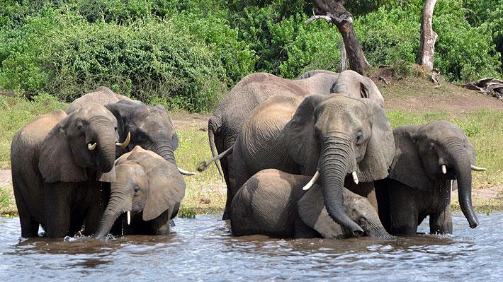 Cazadores furtivos arrasan con los elefantes en Botswana: Más de 90 han sido asesinados en los últimos tres meses