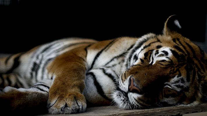 Polémica en Rusia por tigresa que tuvo convulsiones durante un espectáculo circense