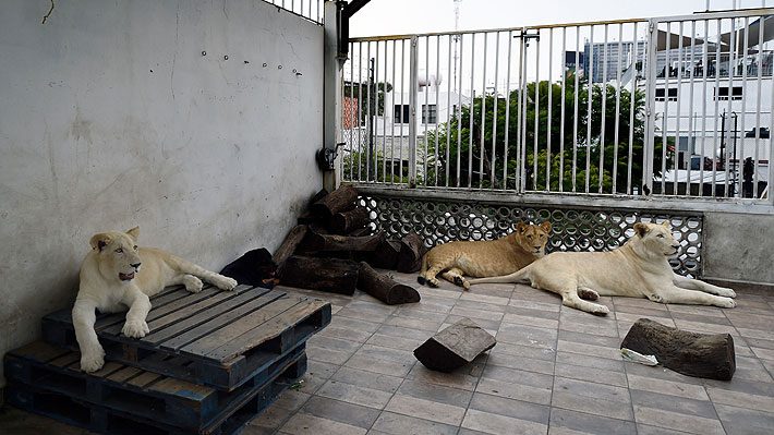 Insólito: Empresario mexicano tiene tres leones africanos viviendo en el techo de su casa